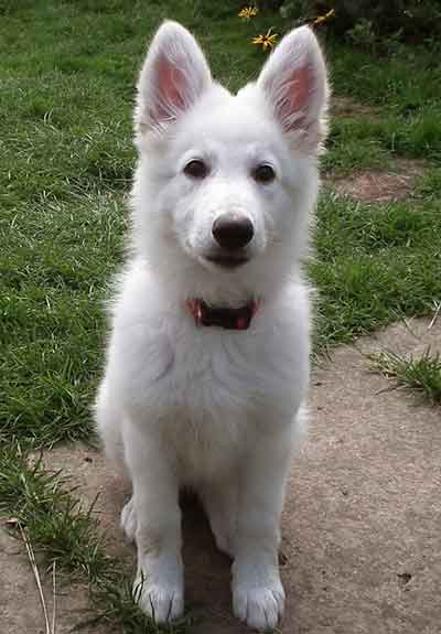 How Does The White German Shepherd