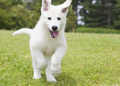 White German Shepherd Dog Running