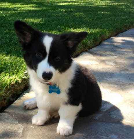 Border Collie and Corgi Cross