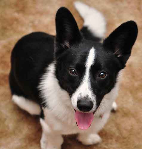 Introducing The Borgi An Adorable Loving Border Collie