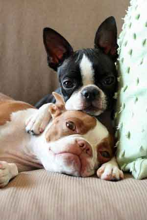 two boston terrier dogs