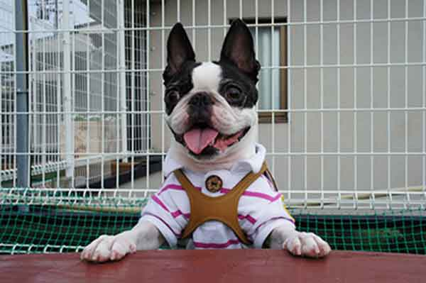 boston terrier socialization training