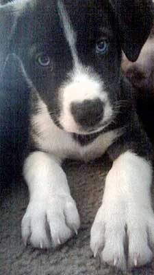 Husky Border Collie Mix Puppies