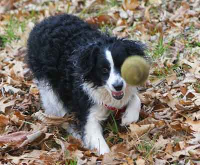 Is The Bordoodle The Smart Family Dog People Hope For?