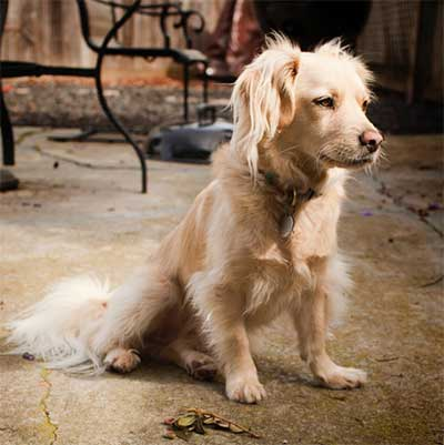 Golden Retriever Cocker Spaniel Mix