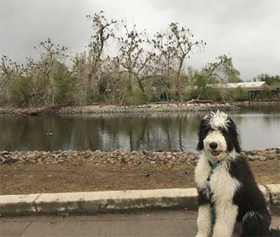 sheepadoodle traits