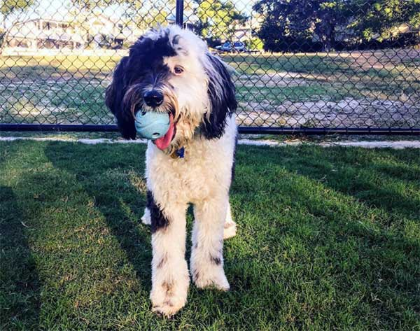Is The Sheepadoodle The Perfect Doodle Dog That Breeders
