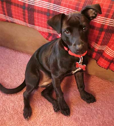 black lab and chihuahua mix