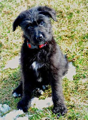 gsd poodle mix
