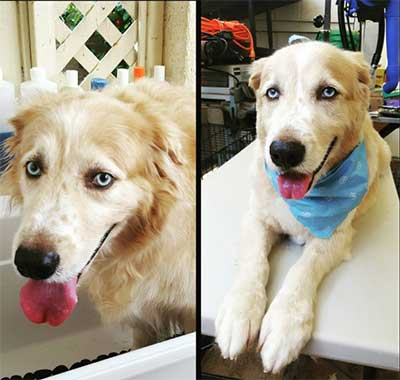 Is The Golden Retriever Husky Mix As Perfect As Dog Lovers Imagine