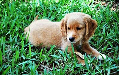 mini golden retriever