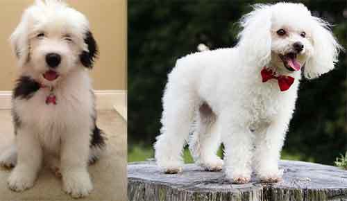 old english sheepdog and poodle