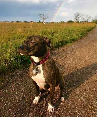 brindle coat pitbull