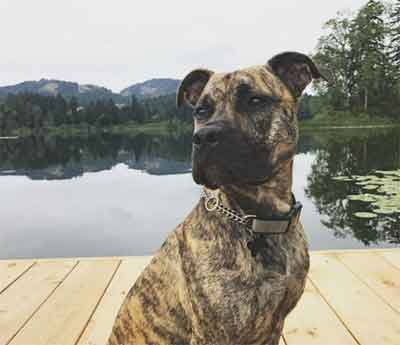 brindle pitbull guide