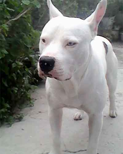 white pitbull guide