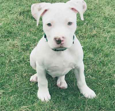 white pitbull puppy