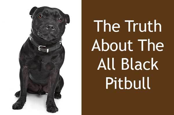 The Truth About All Black Pitbull