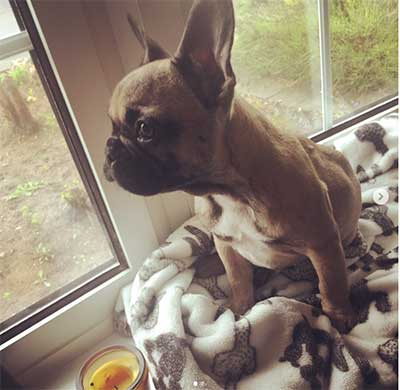 price of french bulldog how much do french bulldogs cost and why are they so 3932