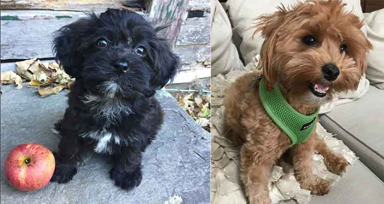 Understanding The Cute Little Havapoo Havanese Poodle Mix