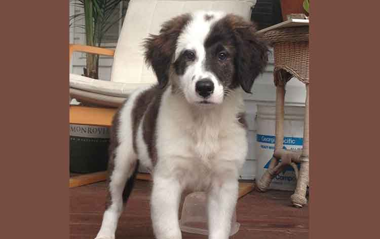 The Saint Bernard Australian Shepherd Mix Factsinformation