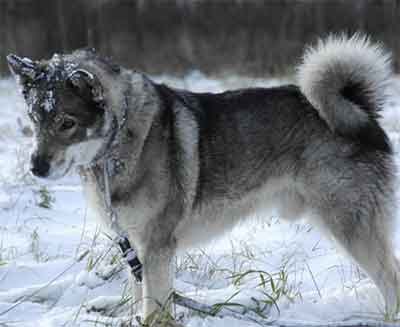 swedish elkhound training
