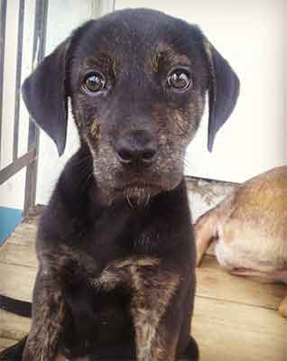 blue heeler black lab mix