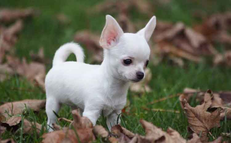 all about the white chihuahua