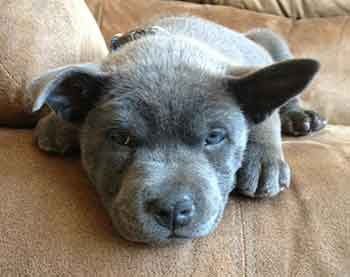 pitbull chow chow mix