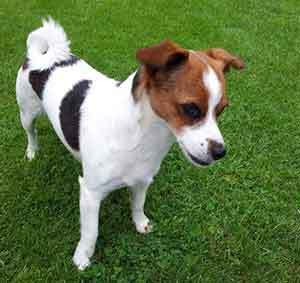 chihuahua jack russell info