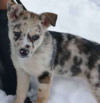 Is It Really A Good Idea To Create A Catahoula Husky Mix?