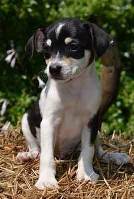The Cute But Hyper Jack Russell Chihuahua Mix