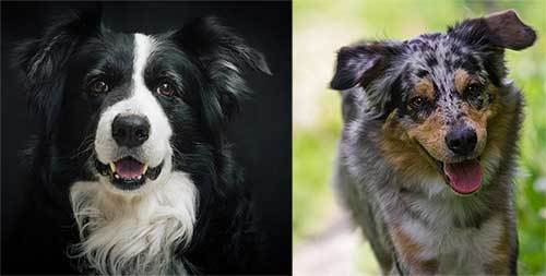 australian shepherd border collie comparision