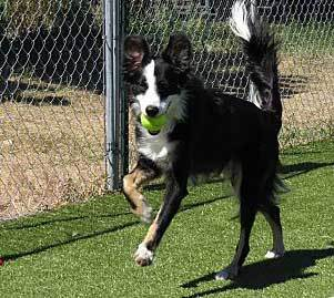 the truth about the border collie australian shepherd mix
