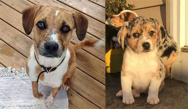 Is There More To Australian Shepherd Beagle Mix Dogs Than