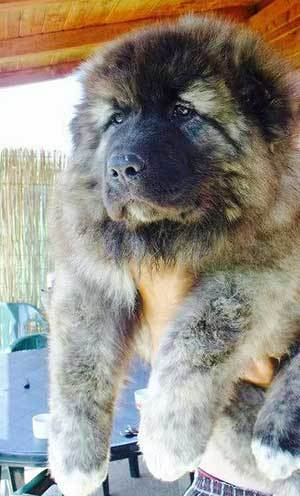 20 Amazing Facts About The Russian Bear Dog