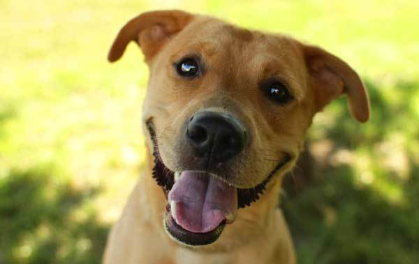 golden retriever boxer mix guide