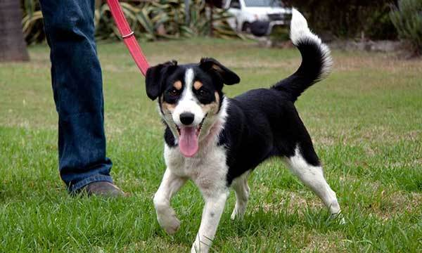 border collie jack russell mix