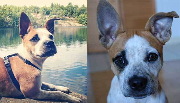 boston terrier jack russell mix
