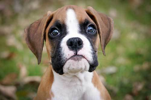 A Guide To The Boston Terrier Boxer Mix Miniature