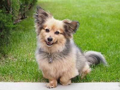 All About The Pomeranian Dachshund Mix The Dameranian