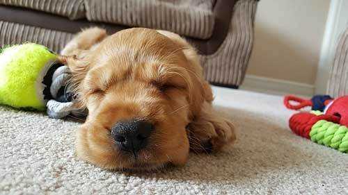 exhausted puppy