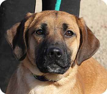 golden boxer dog face