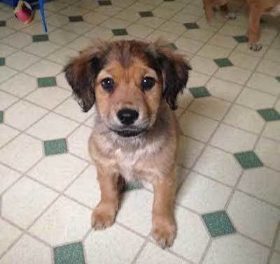golden boxer puppy