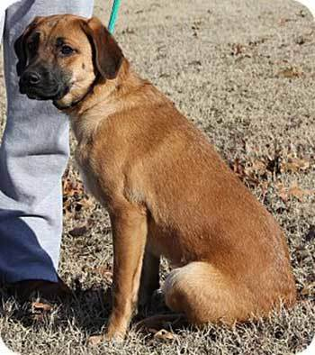 golden retriever boxer mix training