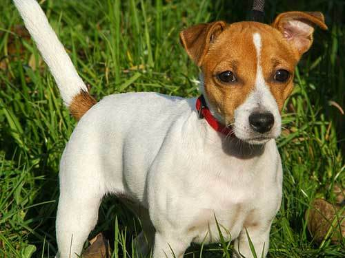 jack russell history