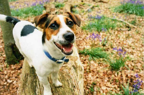 Jack russell terrier shedding solution