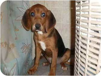 beagle bloodhound mix size