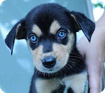 beagle husky mix dog