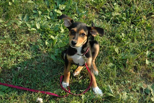 meagle Miniature Pinscher Beagle Mix