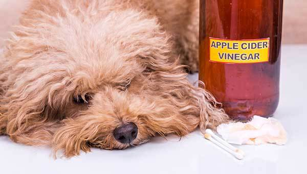using apple cider vinegar as natural remedy for fleas